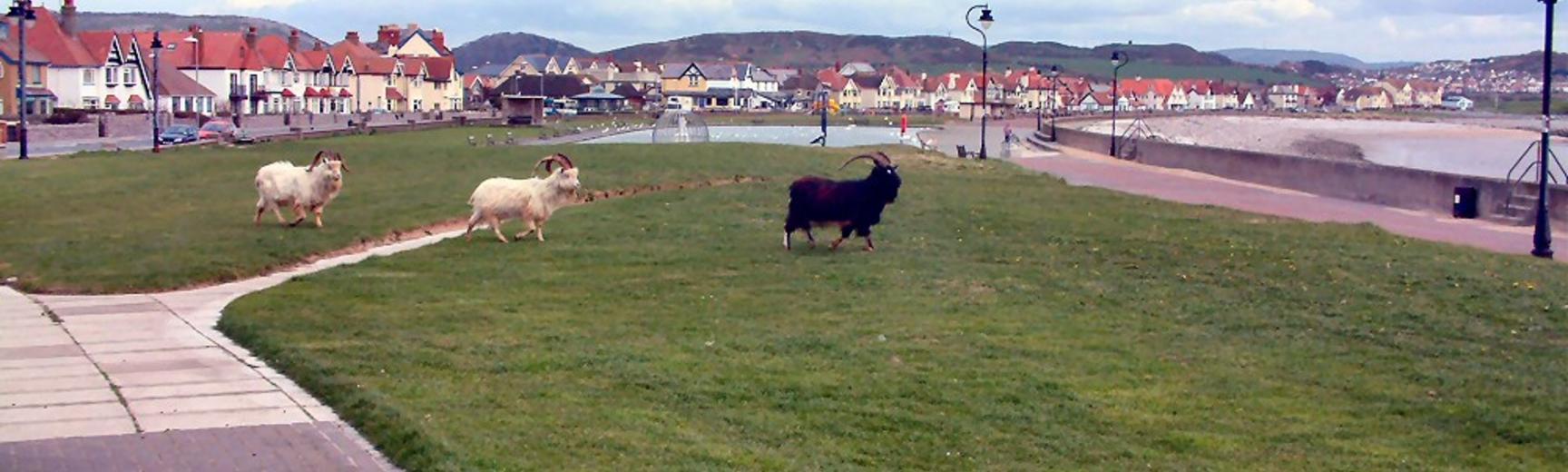 Photo of Goats roaming free in Llandudno