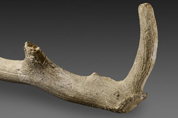 antler pick from grimes graves at the ashmolean museum
