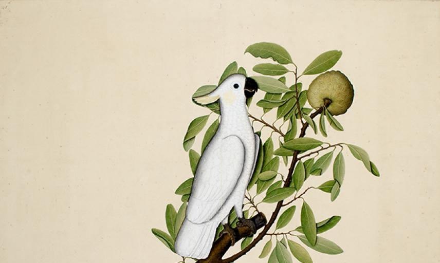 Sulphur-crested cockatoo (Cacatua galerita) on a custard apple branch (Annona reticulata)