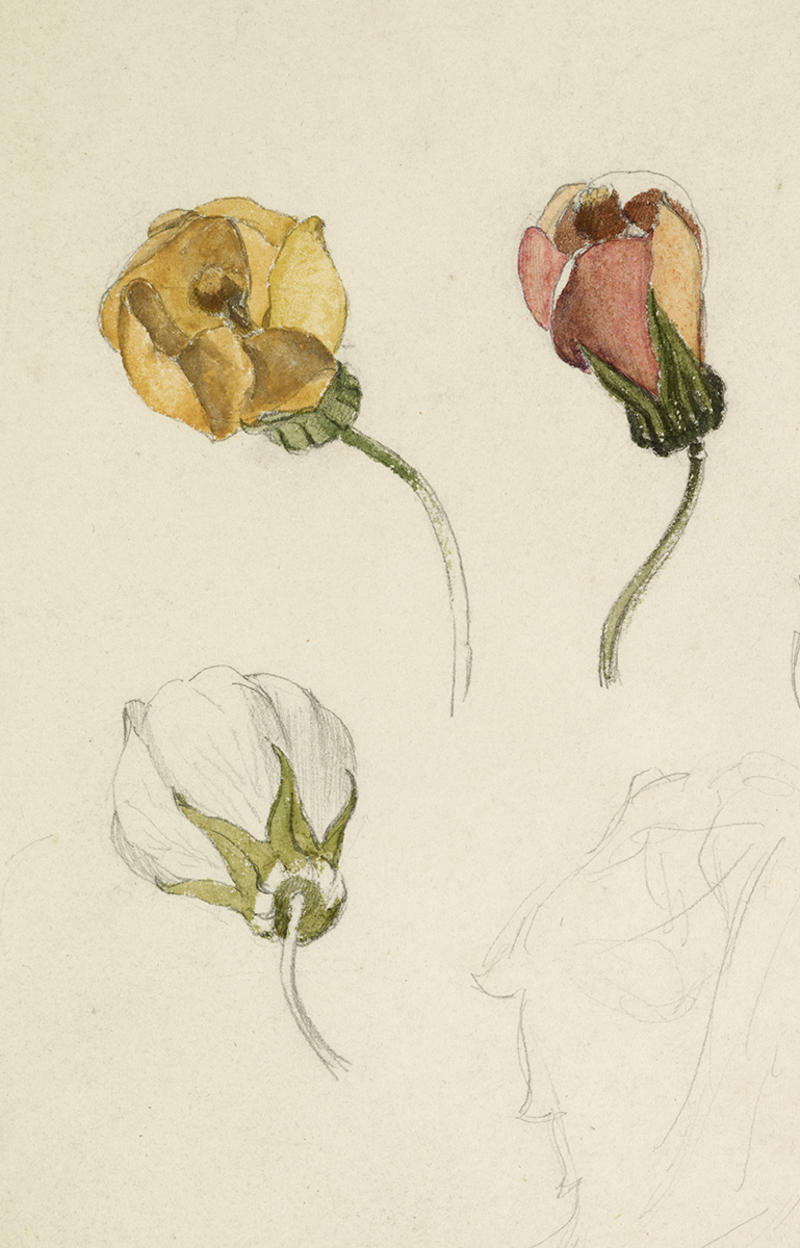 Three studies of rosebuds drawn in graphite and painted with yellow, green and pink watercolours